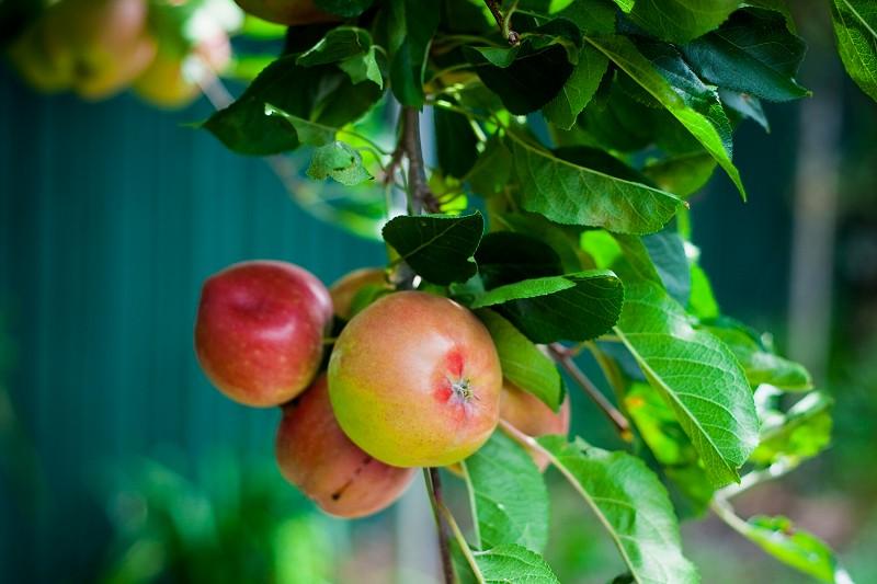 Apples in the garden